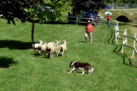 A dog chases several sheep through the grass